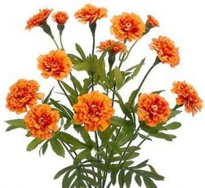 with their rich autumn colored hues marigolds are the quintessential october birth flower early christians called marigolds marys gold and placed it by