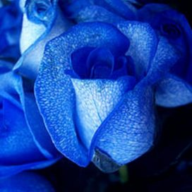 2 Blue Roses (RSB02-10)