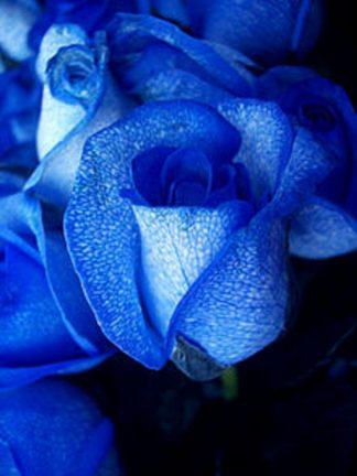 2 Blue Roses (RSB02-10)