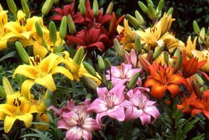 Lovely Lily Bunch (CF12-04)