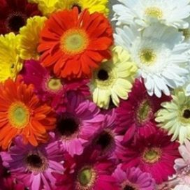 Gerbera Bunch (CF12-02)
