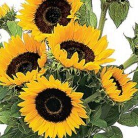 Super Sunflower Bunch (CF12-03)