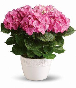 Happy Hydrangea (T89-1A)