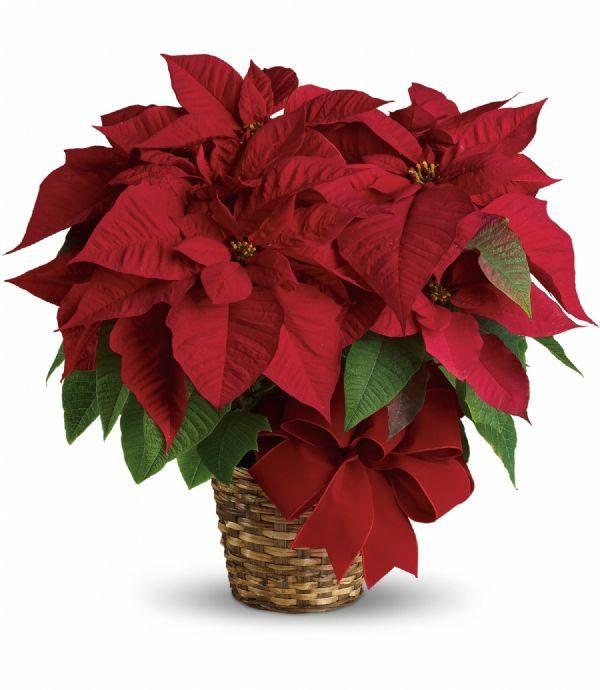 Poinsettia Basket (T122-1A)
