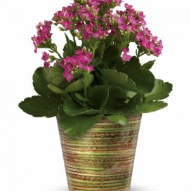 Simply Happy Kalanchoe Plant (T14G110A)