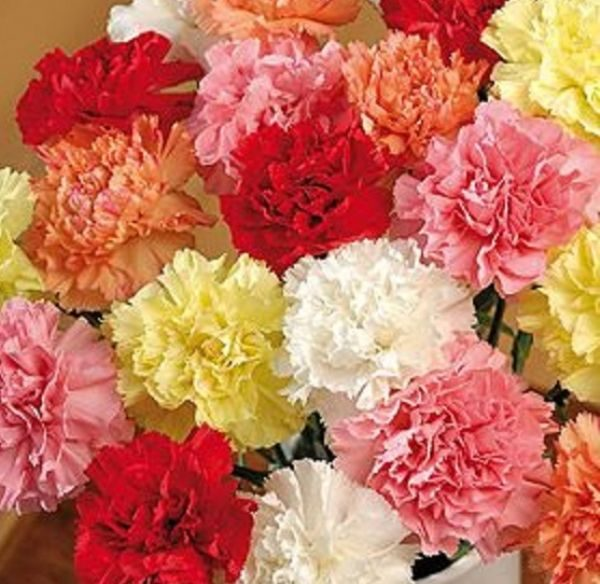 Carnation Bunch (CF17-01)