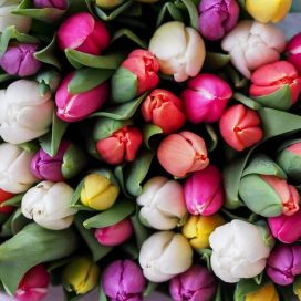 Tulips by the Bunch (CF19-01)