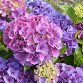 Hydrangea Bouquet (CF20H-01)